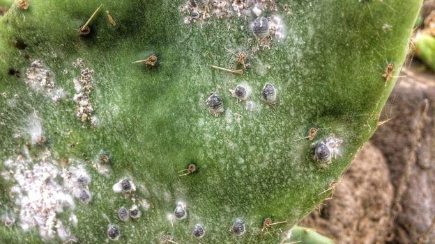 Inseto é colhido de plantações de cactus imagem: Reprodução GETTY IMAGES